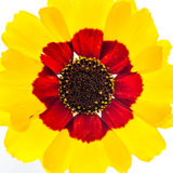 Wildflower Wheel. A macro shot of a yellow wildflower shot against a white background royalty free stock photography