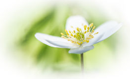 Wildflower wood anemone Royalty Free Stock Photography