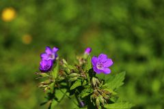 Wildflower, woodland, geranium, Geranium sylvaticum, forest, Storchschnabel, wood cranesbill, purple, nature, plant, flowers, gree royalty free stock images