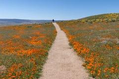 Wildflower wybuch przy antylopy Kalifornia maczka Dolinną rezerwą obrazy royalty free