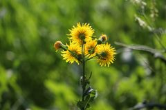 Backlit view yellow hawks beard blooms. Wildflower yellow bright showy nature tall bloom flora annual pale Crepis-tectorum dandelion-like erect royalty free stock image
