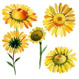 Wildflower yellow chamomile flower in a watercolor style isolated. royalty free illustration
