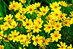 Wildflower - Yellow Happy Faces - Wild Coreopsis lanceolata in Necedah Wildlife Refuge, Wisconsin, USA Royalty Free Stock Photography