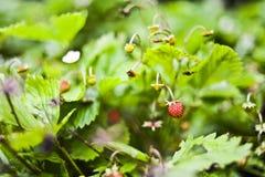Wildflowererdbeere, die auf einem Busch im Garten, Sommer wächst Lizenzfreie Stockfotos