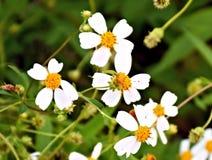 Wildflowermadeliefjes Royalty-vrije Stock Fotografie
