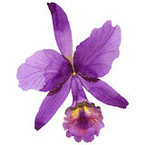Wildflowerorchideenblume in einer Aquarellart lokalisiert Lizenzfreie Stockfotos