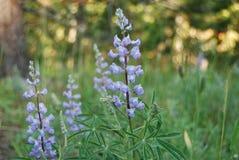 Wildflowers στην άκρη ενός ίχνους σε Yellowstone Στοκ φωτογραφίες με δικαίωμα ελεύθερης χρήσης