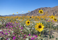 Wildflowers στην έρημο Anza Borrego Στοκ εικόνες με δικαίωμα ελεύθερης χρήσης