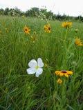 Wildflowers στο Κάνσας στοκ φωτογραφίες