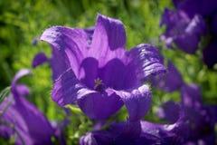 Wildflowers στο πράσινο φυσικό υπόβαθρο Alpina Campanula στοκ φωτογραφίες