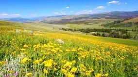 Wildflowers του εθνικού πάρκου Yellowstone απόθεμα βίντεο