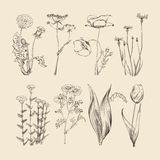 Wildflowers, χορτάρια και λουλούδια Βοτανική διανυσματική συλλογή άνοιξης ή καλοκαιριού Στοκ εικόνα με δικαίωμα ελεύθερης χρήσης
