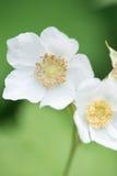 Wildflowers белизны макроса Стоковые Фотографии RF