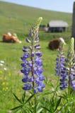 Wildflowers в австрийских горных вершинах на солнечный день Стоковое фото RF