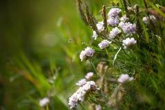 Wildflowers в Исландии стоковое изображение rf