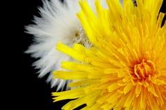 2 wildflowers в этапе разработки 2 на черноте Стоковое Фото