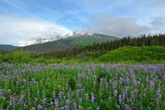 wildflowers гор Аляски Стоковая Фотография