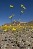 wildflowers долины смерти Стоковые Фотографии RF