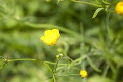 Wildflowers лета Горькосоленый желтый цвет лютика Стоковые Изображения RF