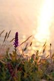 Wildflowers лета на заходе солнца освещают на предпосылке моря Стоковое фото RF