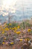 Wildflowers лета на заходе солнца освещают на предпосылке моря Стоковые Фото