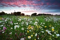 Wildflowers лета на драматическом заходе солнца Стоковая Фотография RF