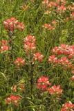 Wildflowers 7 индийского Paintbrush Стоковое Фото