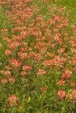 Wildflowers 5 индийского Paintbrush Стоковое Изображение RF