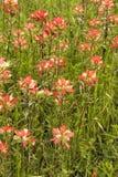 Wildflowers 4 индийского Paintbrush Стоковые Изображения RF