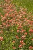 Wildflowers 3 индийского Paintbrush Стоковые Изображения RF