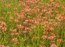 Wildflowers 6 индийского Paintbrush Стоковые Изображения RF