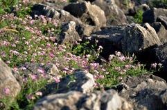 Wildflowers между утесами Стоковое Фото