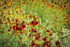 Wildflowers мексиканской шляпы Стоковые Изображения