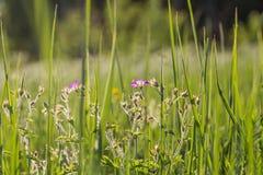 Wildflowers на заходе солнца Стоковые Изображения RF