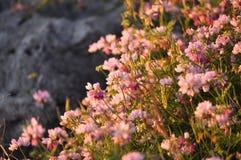Wildflowers на заходе солнца Стоковая Фотография