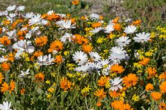 Wildflowers оранжевой и белой маргаритки Стоковая Фотография