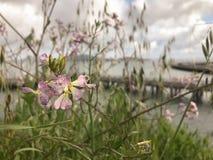 Wildflowers покрашенные лавандой в цветени, с взглядом San Francisco Bay в предпосылке Стоковые Фотографии RF