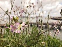 Wildflowers покрашенные лавандой в цветени, с взглядом San Francisco Bay в предпосылке Стоковые Фото