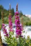 wildflowers пурпура вербейника стоковая фотография rf