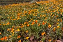 Wildflowers пустыни в Аризоне Стоковые Изображения RF