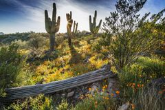 Wildflowers пустыни и кактусы Saguaro в Аризоне на заходе солнца Стоковое Фото