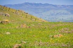 """Wildflowers сыча \ """"клевера s зацветая на змейчатой почве на юге San Francisco Bay, держателе Гамильтоне на заднем плане, Сан-Хос стоковые изображения"""