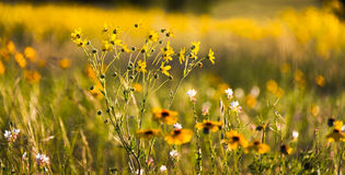 Wildflowers Техаса стоковое изображение