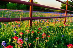 Wildflowers Техаса Стоковые Фото