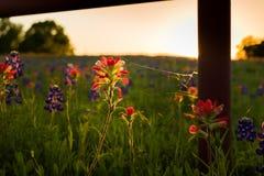 Wildflowers Техаса Стоковое фото RF