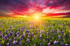 Wildflowers Техаса Стоковые Фотографии RF