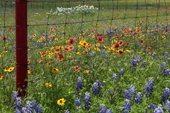 Wildflowers Техаса Стоковая Фотография