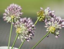 Wildflowers лукабатуна чеснока вороны лаванды Стоковое Изображение