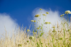 Wildflowers. Looking up from a lower prespective with blue sky andwhite clouds stock images