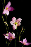 Wildflowers. A group of pink wildflowers with yellow stamens on a black background royalty free stock photography